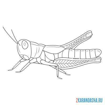 Print a coloring book real grasshopper on A4